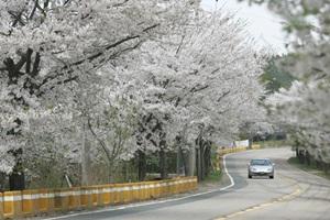 봄꽃이 흐르는 대청호반길