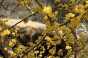 노란 '동백꽃'의 수수께끼, 춘천 실레마을,강원도 춘천시
