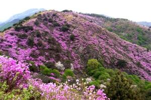 다섯 연꽃이 피었던 산에 진달래가 만개하니, 고려산