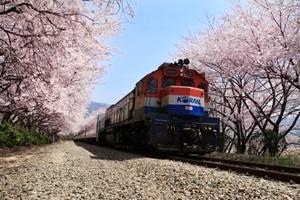 벚꽃이 만개하는 도시, 창원,경상남도 창원시
