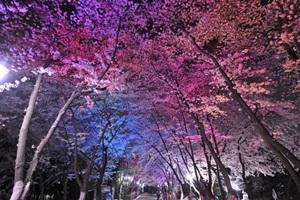 벚꽃이 차 오른 도당산으로,경기도 부천시