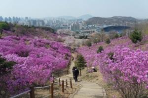 진분홍빛 봄옷 입은 동네, 춘의(春衣)동의 진달래,경기도 부천시