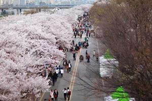 벚꽃의 향연, 여의도,서울특별시 영등포구