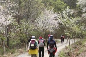 금산으로 떠나는 소소한 봄꽃 여행 '비단고을 산꽃축제',충청남도 금산군
