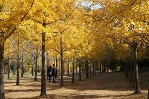 황금빛 기운으로 가득 찬, 홍천 은행나무숲,강원도 홍천군