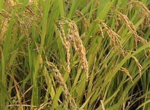 철원 오대쌀,지역특산물,국내여행