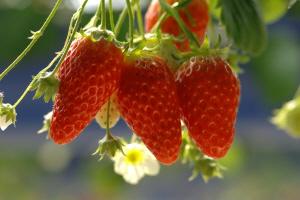 하동 딸기,경상남도 하동군,지역특산물