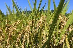 영종, 용유 친환경 쌀,인천광역시 중구,지역특산물
