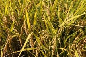 오산 세마쌀 ,경기도 오산시,지역특산물