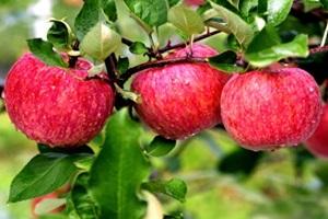 포천 사과,경기도 포천시,지역특산물