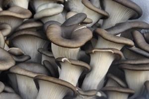 포천 느타리버섯 (하우스 재배),경기도 포천시,지역특산물