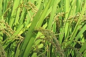 쌀,경기도 화성시,지역특산물