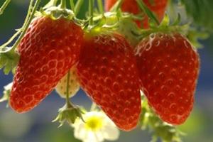 맹방딸기,강원도 삼척시,지역특산물