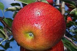사과,강원도 영월군,지역특산물