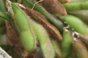 콩,강원도 인제군,지역특산물