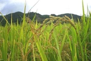 쌀,전라남도 고흥군,지역특산물