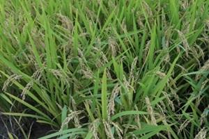 탑마루 쌀,전라북도 익산시,지역특산물