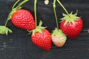 딸기,국내여행,음식정보