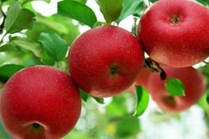 얼음골 사과,국내여행,음식정보
