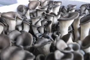 동면 버섯(하우스 재배),경상남도 양산시,지역특산물