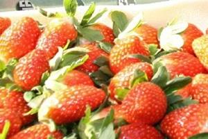 원동 딸기,경상남도 양산시,지역특산물