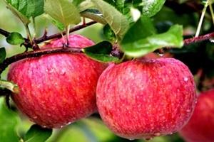 바리실 사과,충청남도 금산군,지역특산물