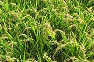 쌀,충청북도 음성군,지역특산물
