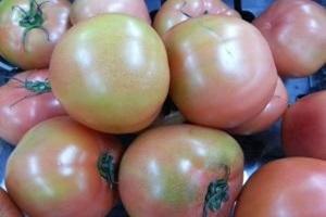 토마토,강원도 영월군,지역특산물