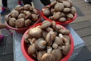 표고버섯,강원도 평창군,지역특산물