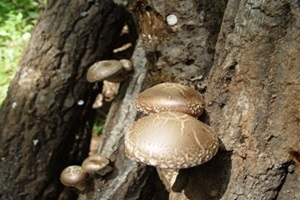 표고버섯,전라북도 진안군,지역특산물